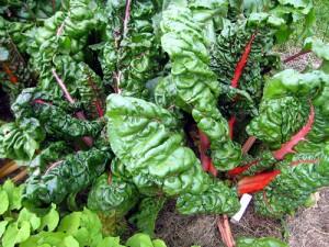 Magold rhubarb 22. června 2012.