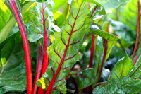 Mangold červený (Rhubarb Chard)